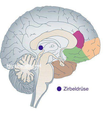 Anatomische Lage der Zirbeldrüse im Gehirn